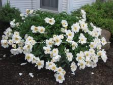 Amish flower garden 1