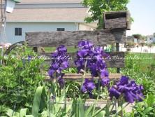 Amish flower garden 5