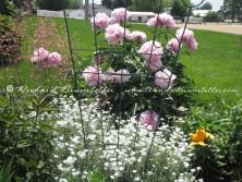 Amish flower garden 7