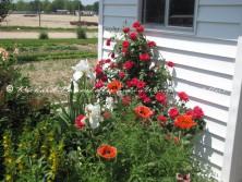 Amish flower garden 8