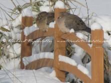 Doves on the bridge