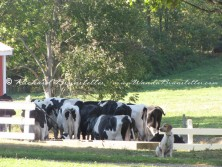 Guarding the cows