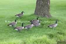 GooseGathering